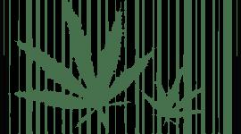 Retrait de permis pour les consommateurs de cannabis